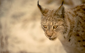 Picture look, background, lynx, wild cat