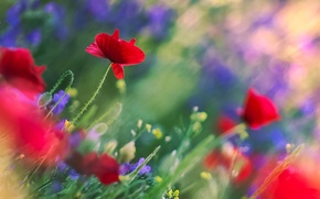 Picture flowers, blue, Maki, red, stems, field, blur, leaves, bokeh, field, glare