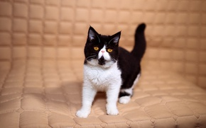 Picture cat, look, kitty, background, black and white, eyes, yellow, small, pers, muzzle, cute, cells, mattress, …