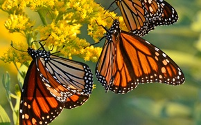 Picture flowers, butterfly, wings, monarch