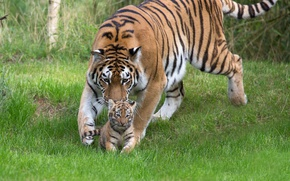 Picture grass, tigress, tiger