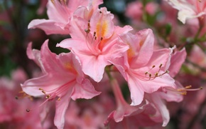 Picture flowers, Lily, pink, flowers