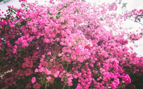 Wallpaper flowers, pink, petals, Bush