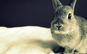 Picture eyes, grey, Rabbit, ears