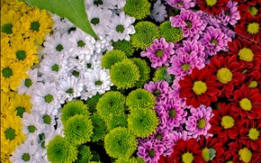 Picture colorful, chrysanthemum, a lot