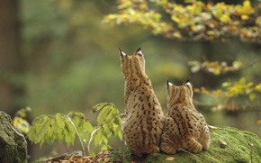 Picture two, lynx, Lynxes