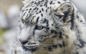 Picture cat, face, IRBIS, snow leopard, kitty, ©Tambako The Jaguar