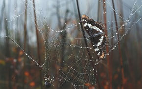 Wallpaper butterfly, web, spider