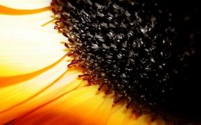 Wallpaper seed, Sunflower, yellow