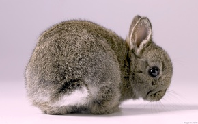 Picture Grey, Wallpaper, Rabbit, Baby Bunny