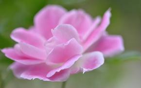 Picture macro, nature, rose, petals