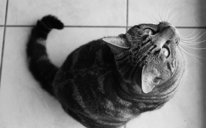 Picture eyes, cat, mustache, black and white, wool, nose