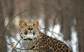 Wallpaper winter, forest, look, snow, leopard