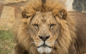 Picture look, predator, Leo, the king of beasts