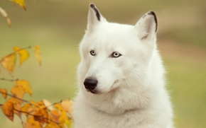 Picture each, dog, husky