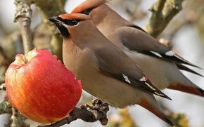 Picture birds, Apple, branch, lunch, waxwings