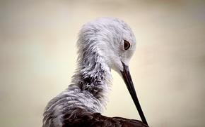 Picture bird, Himantopus himantopus, Black-winged stilt