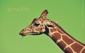 Picture face, background, the inscription, giraffe, neck