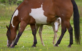 Picture horse, pasture, foal, motherhood