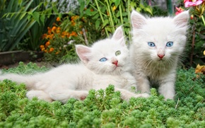 Picture flowers, kittens, white, a couple