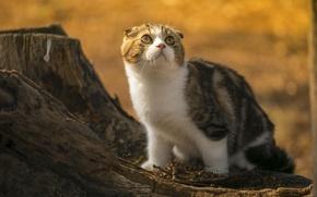 Picture cat, look, nature, stump, Scottish fold