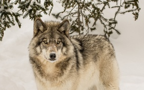Picture winter, look, wolf, predator, the orderly forest