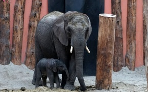 Picture background, elephants, zoo