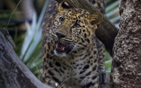 Picture interest, tree, leopard