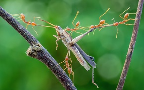Wallpaper macro, mining, ants, attack, grasshopper, insects, hunting