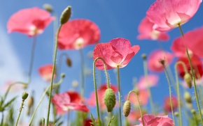 Wallpaper Maki, the sky, pink