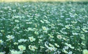 Picture greens, field, summer, grass, flowers, nature, glade, petals, white, kosmeya