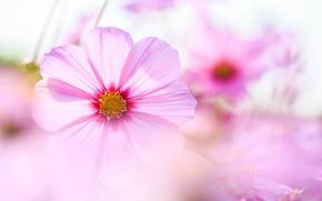 Wallpaper macro, flowers, tenderness, petals, blur, pink, Kosmeya
