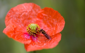 Picture petals, insect, Mac, flower