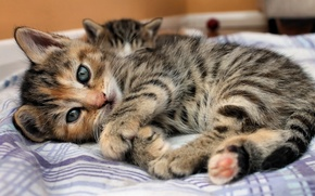Picture eyes, look, strips, kitty, bed, Cat, lies