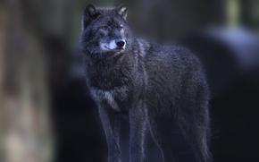 Wallpaper grey, wolf, is, looks