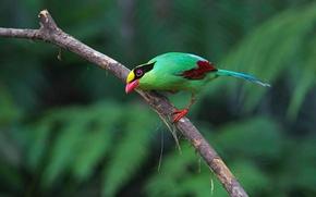 Wallpaper bird, paint, branch, feathers, beak, tail, green Cissa