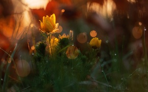 Picture forest, drops, macro, light, flowers, nature, glare, spring, bokeh, Adonis