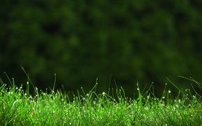 Wallpaper Rosa, macro, grass, greens, drops