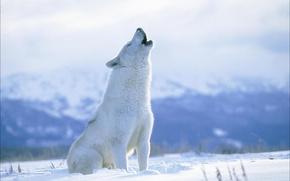 Picture wolf, predator, polar