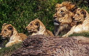 Picture summer, look, cats, tree, vegetation, portrait, Leo, father, mane, log, wild cats, lions, the cubs, …