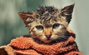 Picture wet, towel, kitty, ruffled, by Zoran Milutinovic