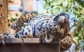 Picture face, stay, predator, Jaguar, wild cat, flooring