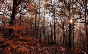 Wallpaper forest, sun, trees, leaves, leaves, the evening, trees, the sun, evening, forest