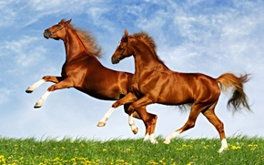 Picture field, animals, the sky, horse
