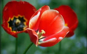 Picture leaves, flowers, red, Maki, tulips