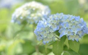 Picture macro, blue, hydrangea