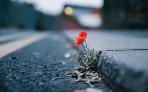 Picture flower, the city, street, Mac