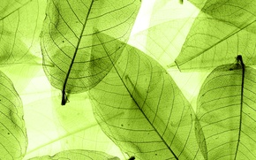 Picture leaves, green, abstract, leaves, macro, transparent