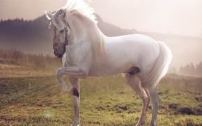 Picture horse, Horse, white stallion