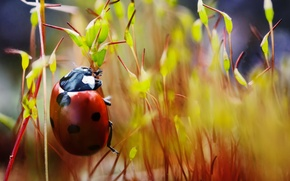 Picture ladybug, plants, crawling, speck